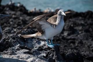 Blaufusstölpel - Isla Isabela