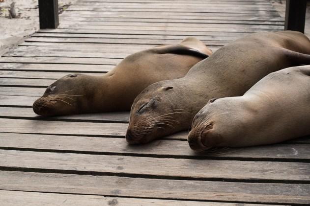 Seelöwen - Puerto Villamil
