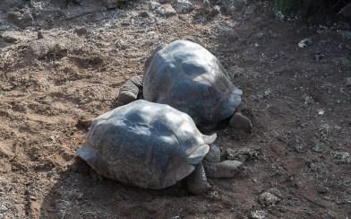 Riesenschildkröten - Isla Santa Cruz
