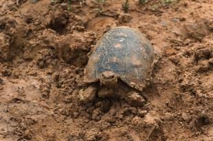 Sie berühmte Matschschildkröte...