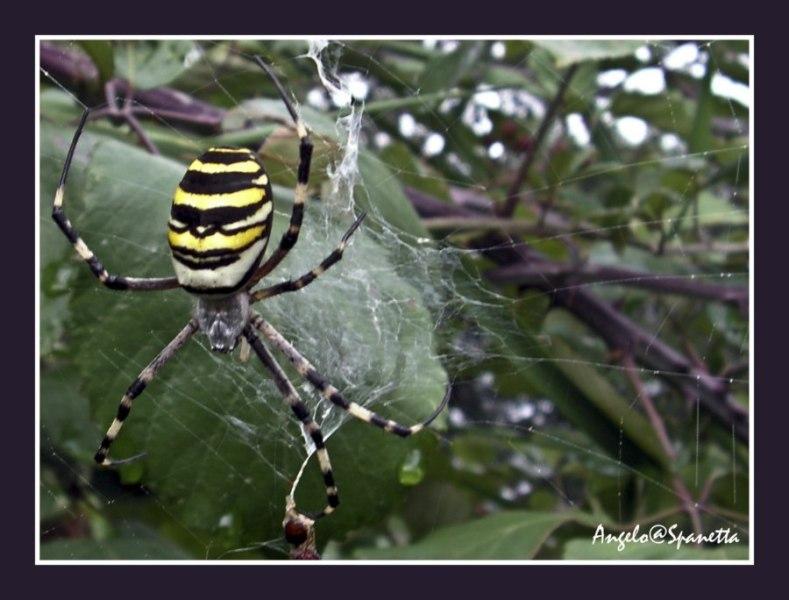 Il ragno della Scarpetta