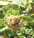 Cardeto non paga le uve. Lettera di un viticoltore alle prese con le tasse