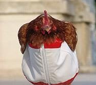 Polli con il pannolino, soluzione pratica o trovata snob?