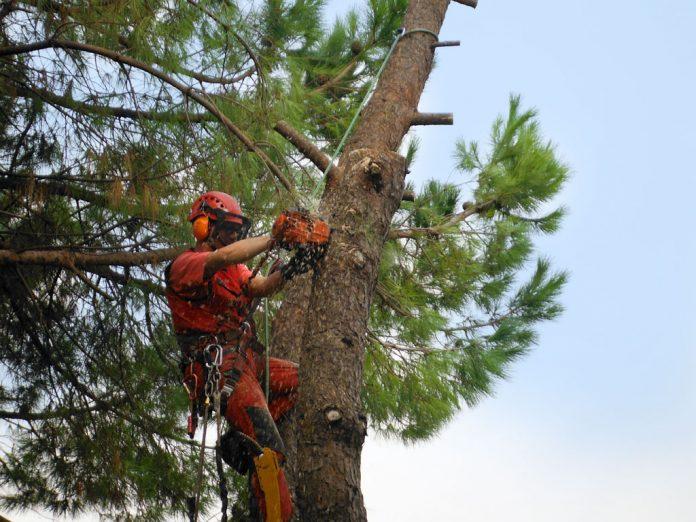 San Venanzo, alberi pericolosi. Senso unico alternato per l'abbattimento