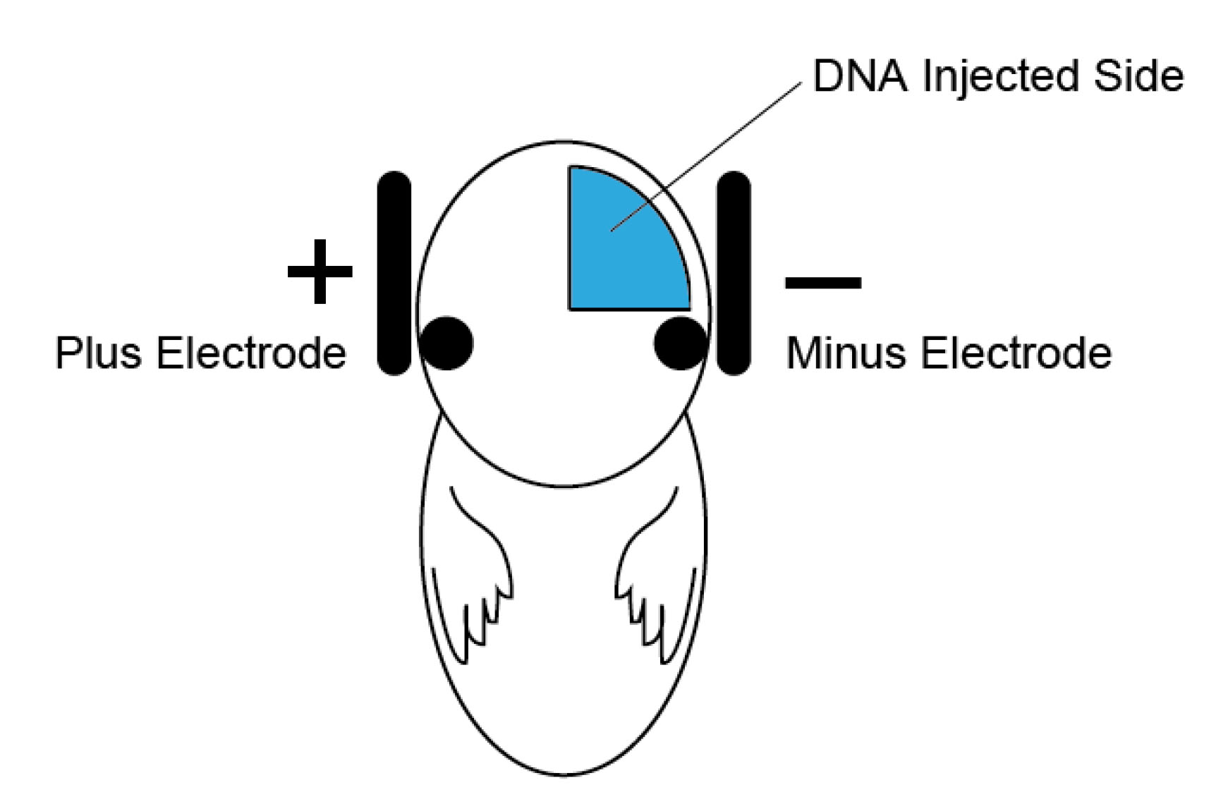 In Vitro Assay For Dendritic Spine Retraction Of