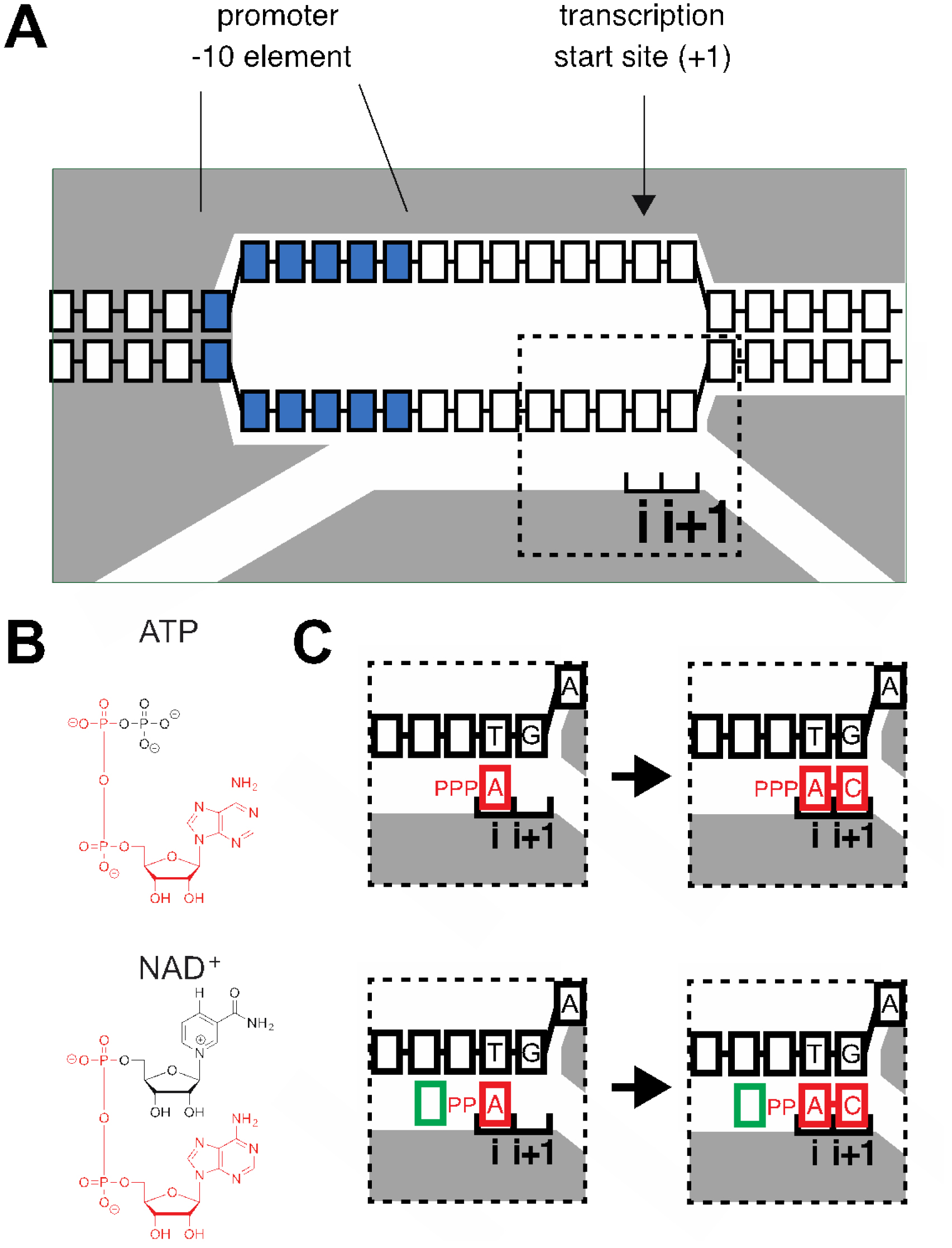hight resolution of gray rnap blue 10 element nucleotides i and i 1 rnap active center initiating nucleotide binding site and extending nucleotide binding site boxes