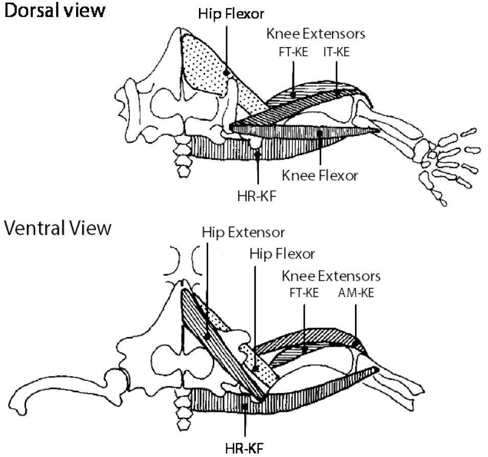 medium resolution of major muscle groups of the hind limb hip flexor hip extensor knee extensors ft ke it ke am ke and knee flexor hr kf extend across both the hip and