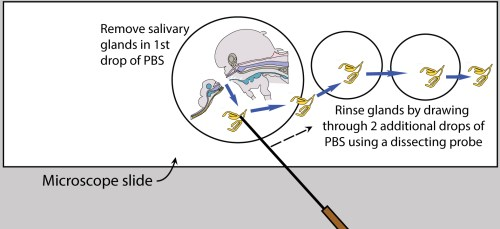 small resolution of figure 6 rinse salivary glands after removal