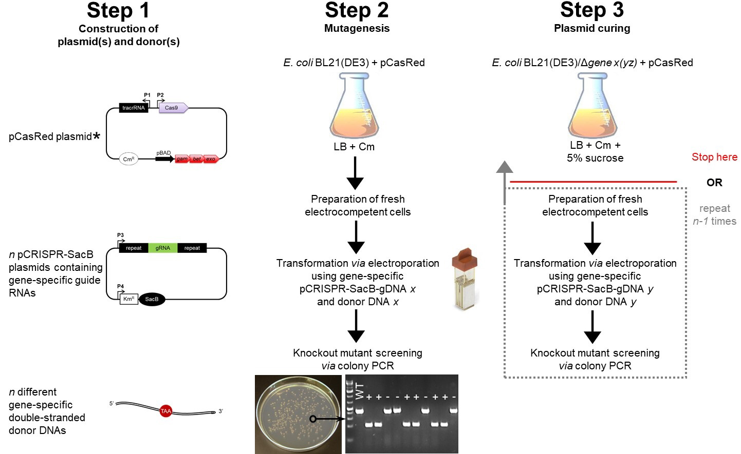 hight resolution of figure 2 schematic workflow for gene knockout in e coli using the crispr cas9 technology step 1 includes the construction of the three main components