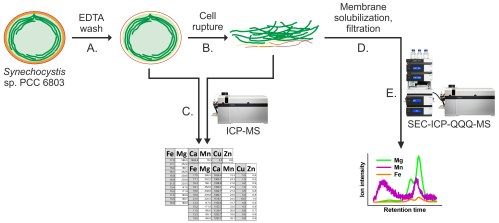 small resolution of schematic workflow illustrating the determination of the total metal concentrations in whole cells and thylakoids and the more detailed analysis of metal