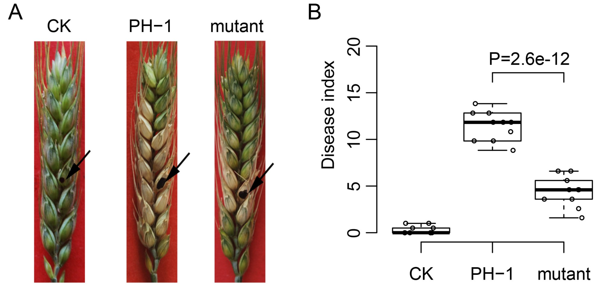 hight resolution of disease symptom and statistical analysis of wheat head infection assay a flowering wheat heads were drop inoculated with water ck or conidia of the wild