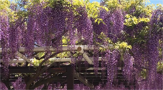 葛井寺的紫藤花