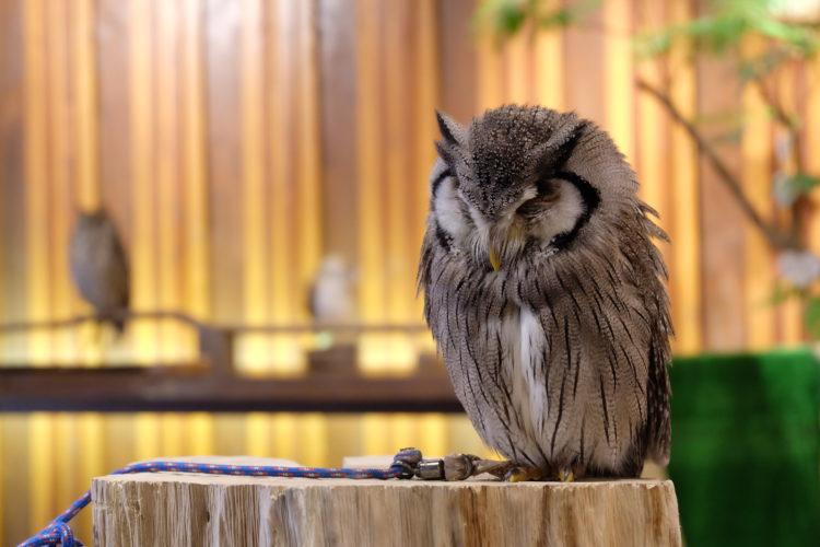 【貓頭鷹咖啡】在心齋橋和貓頭鷹互動度過治