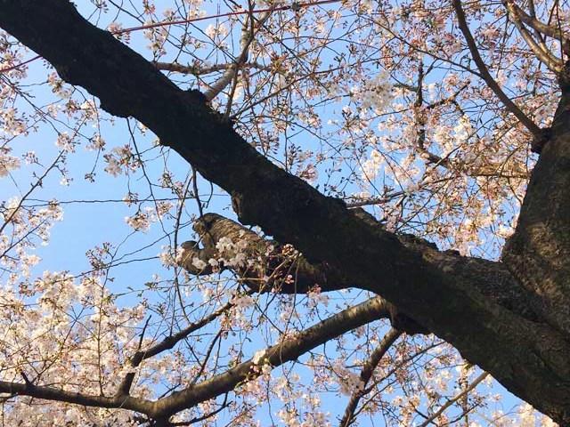 桜の花見,天満橋,大川沿い