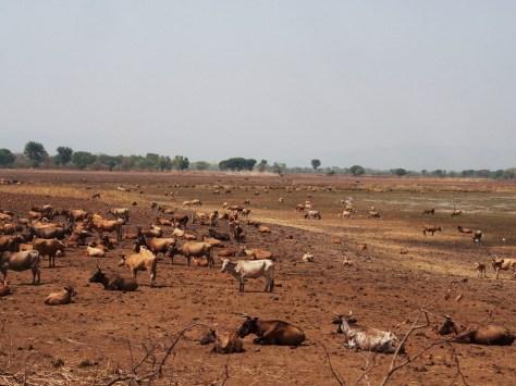 Mosies Saman. GUINEA. Abril 18, 2013. Ganado en un campo cerca del poblado de Kankan, en Guinea Sudoriental.