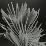 Imogen_cunningham_plantas_17