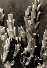 Imogen_cunningham_plantas_28