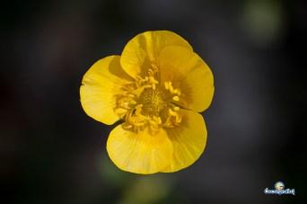 Ranunculus acris (hierba bellida)