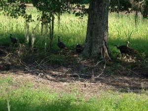 osceola-florida-turkey-hunting-015