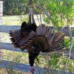 osceola-florida-turkey-hunting-026