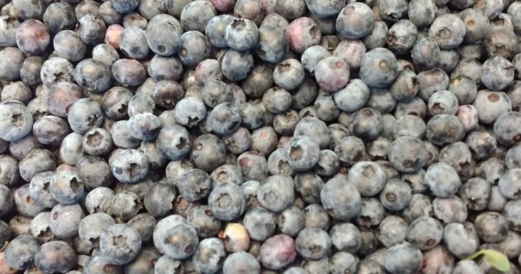 Blueberry Picking 2017