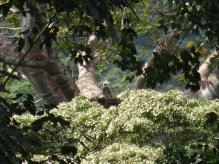 Aigle (Harpie féroce) 1