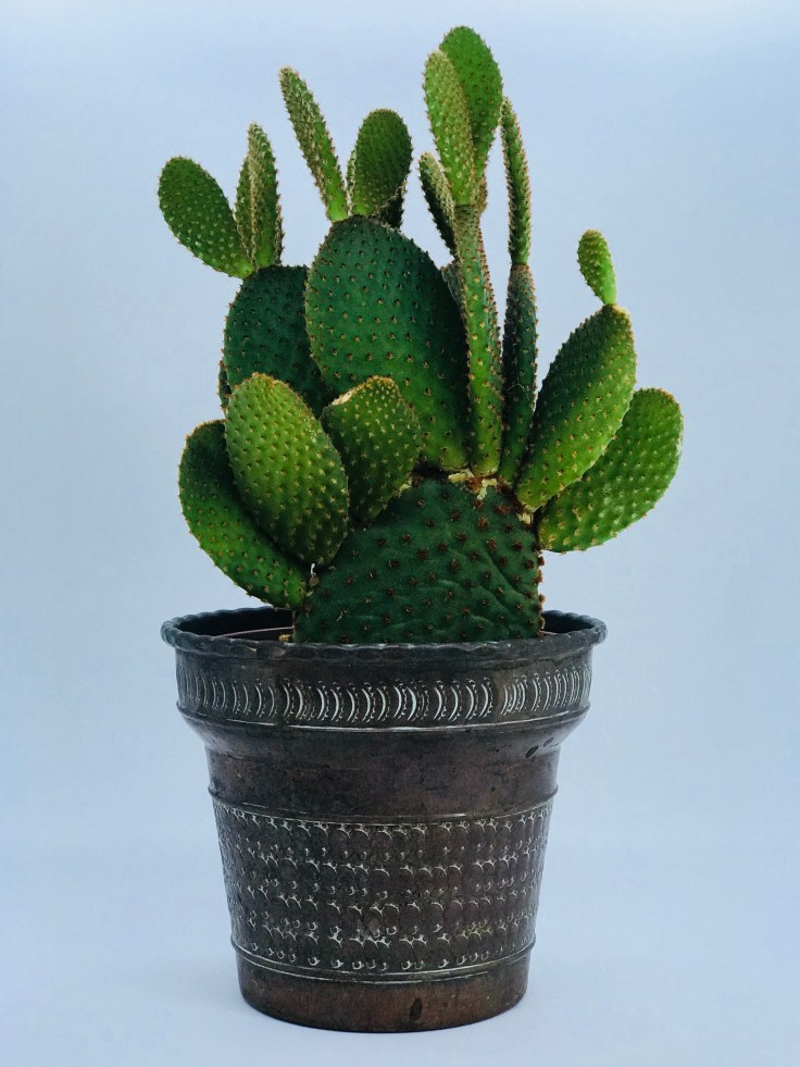 Cactus raquette / oeille de lapin / Opuntia / Oponce
