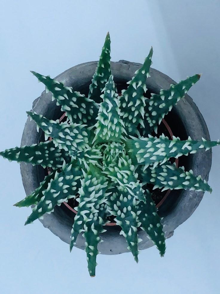 Aloe humilis