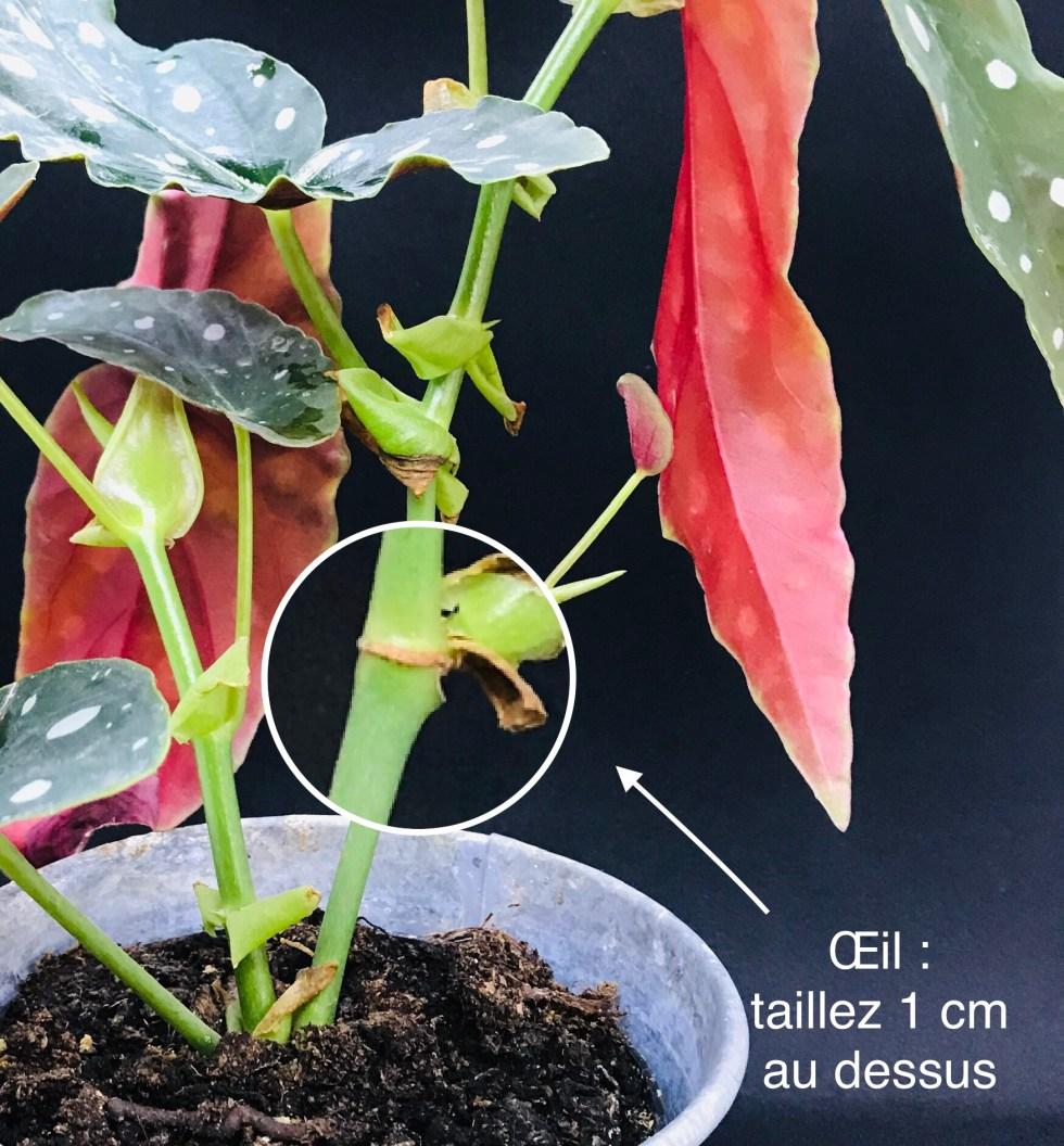 Begonia Maculata ou Begonia Tamaya