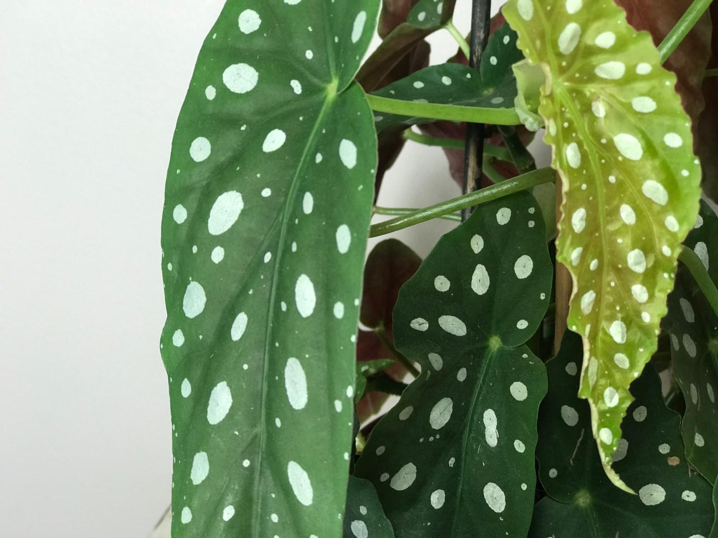 Comment Faire Pousser Bambou tout savoir sur le bégonia tamaya – maculata – osez planter