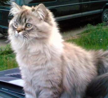 Gato Persa jovem