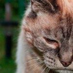 Como cuidar de gatos idosos