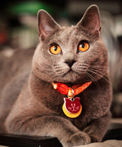 O gato Chartreux Evie. by Mike McCune