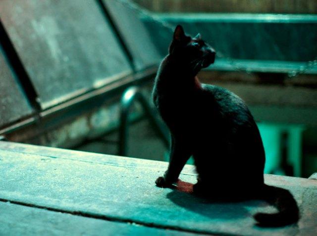 fotos de gato preto