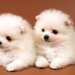 Just Cute Two White Puppies Animals Oshiprint In