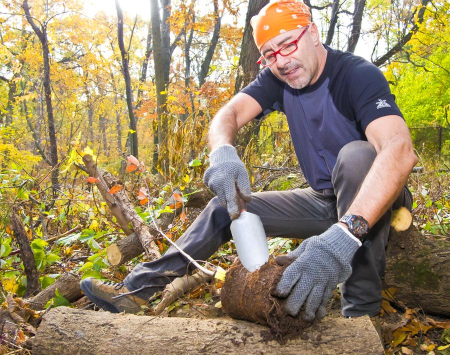 ALEJANDRO ECHAVARRIA preps a tree for planting near the John Muir Trail in Van Cortlandt Park at a monthly volunteer forest restoration program on Saturday, November 2. – The Riverdale Press