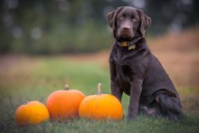 Photo of dog with pumpkins