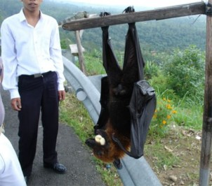 "This ""flying fox megabat"" is not the Indian short-nosed, but it's way crazier and has a wingspan of 5 and a half feet. (hubimg.com)"
