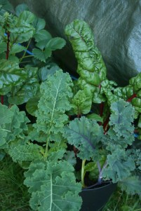 Swiss Chard, Red and Green Kale