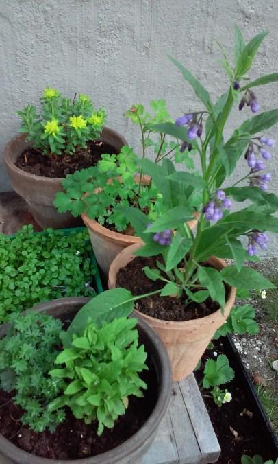 Euphorbia, Aquilegia, Comfrey, Geranium, Salvia
