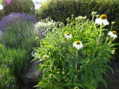 "Purpursolhatt Echinacea purpurea 'White Swan' / Salvia nemerosa 'Schneehugel' / Lavandula angustifolia 'Munstead' og ""Hidcote Blue"""