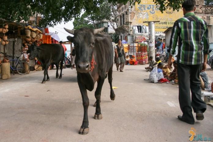 """As vacas sagradas... """"espécie"""" protegida na Índia e que abundam em Varanasi"""