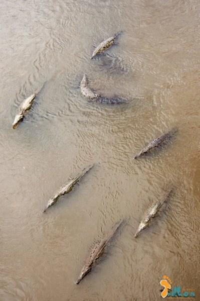 Crocodilos do Rio Tarcoles - Costa Rica-3
