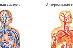 Венозная кровь человека в отличие от артериальной. Чем венозная кровь отличается от артериальной