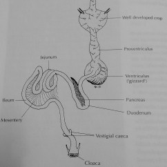 Eagle Anatomy Diagram 1967 Chevy Ii Wiring Digestive The Osprey Bald Gastrointestinal System Of A Falconiform Bird 16