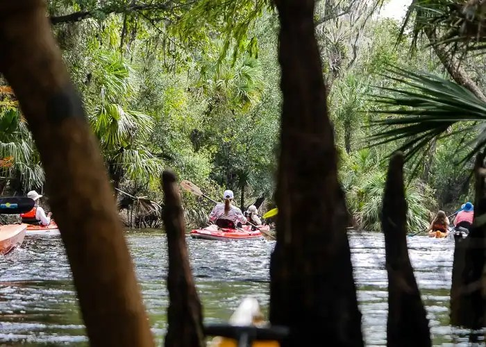 Kayakers on the Alafia River through Cypress Roots