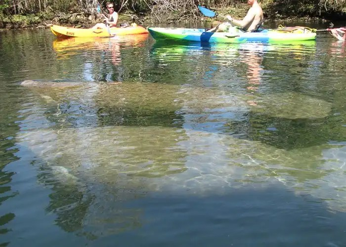 Manatees swimming next to kayakers on the crystal river.
