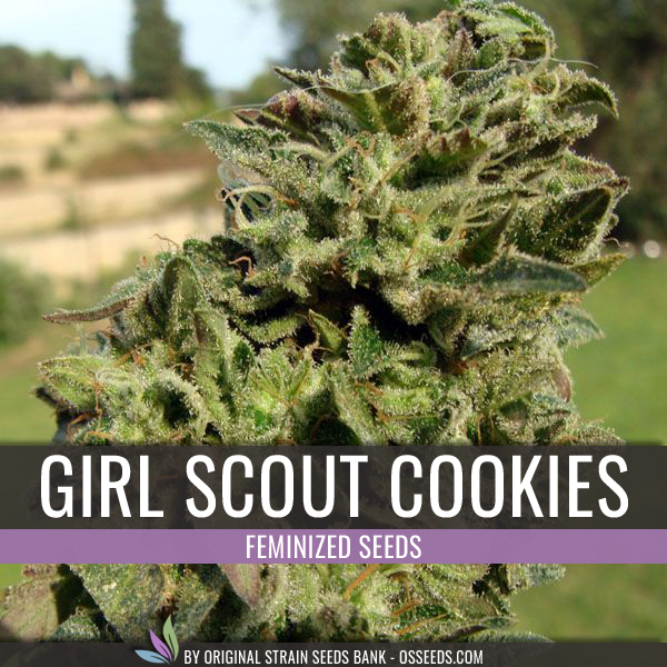 GIRL SCOUT COOKIES BUD