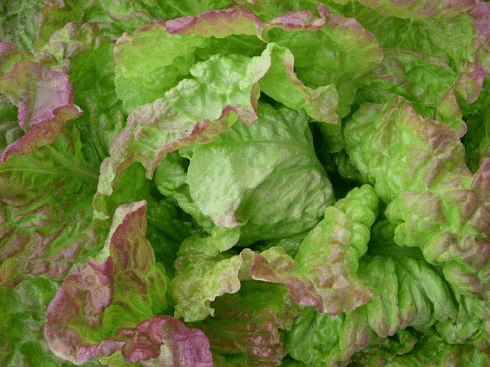 'Bushed Butter Cos' Lettuce. Photo: Karen Morton / Wild Garden Seeds