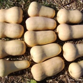'Early Butternut Remix' Squash. Photo: Adaptive Seeds